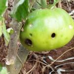 atac-amoda-fructificatiilor
