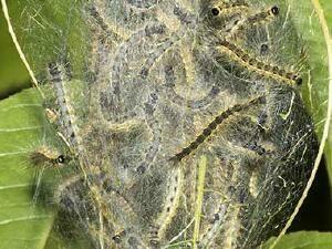 omida-paroasa-a-dudului-colonie