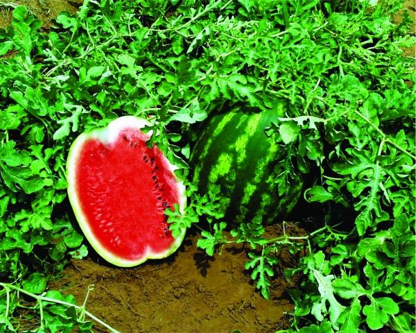 pepene verde cu vene varicoase