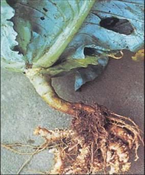 MĂSURI PREVENTIVE, Rădăcină de varză